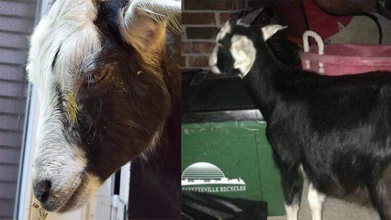 Nastolatkowie znęcali się nad młodą kozą i uznali to za świetną zabawę! Teraz poniosą konsekwencje swoich czynów!