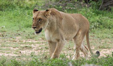 Dzikie koty są urodzonymi drapieżnikami, ale ta lwica podczas polowania zachowała się wbrew swojej naturze