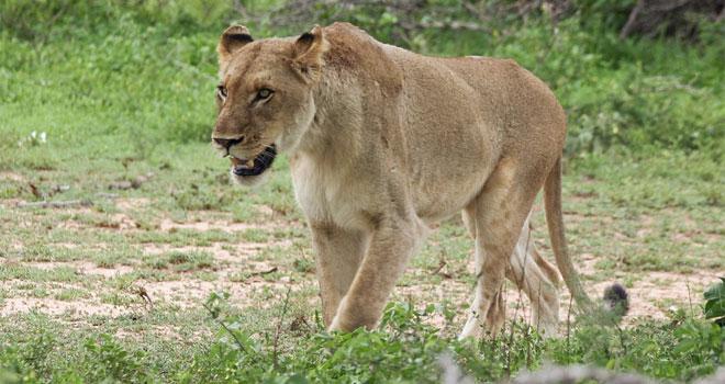 hunting-lioness-mini-p