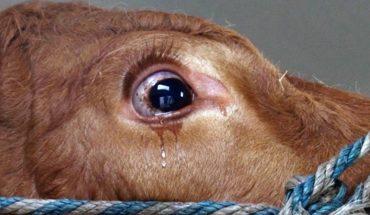 Krowa przeznaczona na rzeź była tak przerażona, że zaczęła płakać. Jej oczy mówią więcej niż tysiąc słów