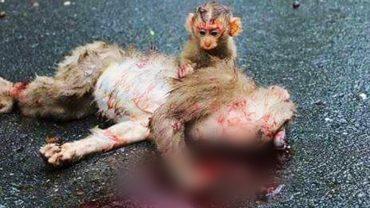 Mała małpka rozpaczliwie szuka pomocy dla matki, która umiera potrącona przez samochód. Nagranie łamie serce…