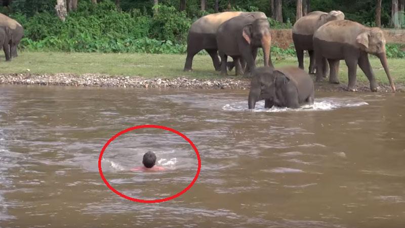 Słonica bez wahania rusza na pomoc topiącemu się mężczyźnie! Czy zwierze pamięta, że kiedyś ten człowiek uratował mu życie?