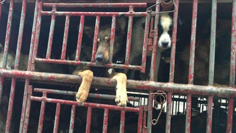 W Chinach uratowano 300 czworonogów, które w fatalnych warunkach jechały na rzeź, by trafić na restauracyjny talerz
