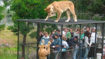 Szukacie ekstremalnych wrażeń? Polecamy wizytę w pewnym ZOO, gdzie zwierzęta są wolne, a ludzie zamknięci w klatkach
