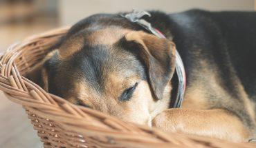Naukowcy odkryli, co śni się psom! Nie uwierzysz, dlaczego tak przebierają łapkami!