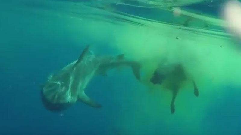 Grupa turystów pływająca po Oceanie Indyjskim natknęła się na bardzo dziwną scenę, jak rekin pożerał... krowę!