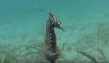 Czy wiedzieliście, że koniki morskie rodzą samce, a nie samice? Zobaczcie nagranie, jak te miniaturowe zwierzęta przychodzą na świat