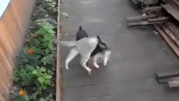 Psy zazwyczaj na komendę przynoszą patyki, ale ten psiak na zawołanie nosi… kota! Takie rzeczy oczywiście tylko w Rosji