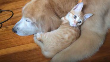 """Powiedzenie """"jak pies z kotem"""" w przypadku tej dwójki kompletnie traci swój sens. Zobaczcie, jak golden retriever pokochał rudego kociaka"""