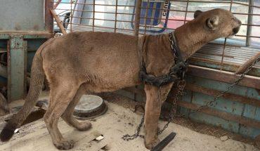 W peruwiańskich cyrkach zwierzęta żyją w fatalnych warunkach, a stan ostatnio uwolnionych zwierząt pokazał wielkie okrucieństwo ich właścicieli