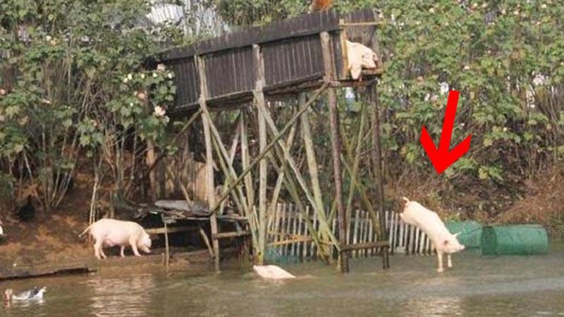 Chiński rolnik każe skakać świniom z 3-metrowej platformy i opływać dookoła staw. Nie zgadniesz, co nim kieruje!