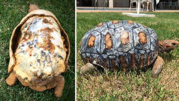 Żółw Freddy stracił swoją skorupę w pożarze. Uratowali go kreatywni weterynarze, którzy za pomocą drukarki 3D zrobili mu nowy pancerz