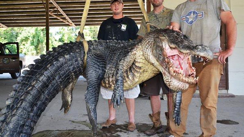 Złapali największego aligatora na świecie, ale to, co ich najbardziej zaskoczyło, znajdowało się w jego brzuchu! Zobacz, co mieścił potężny żołądek gada!