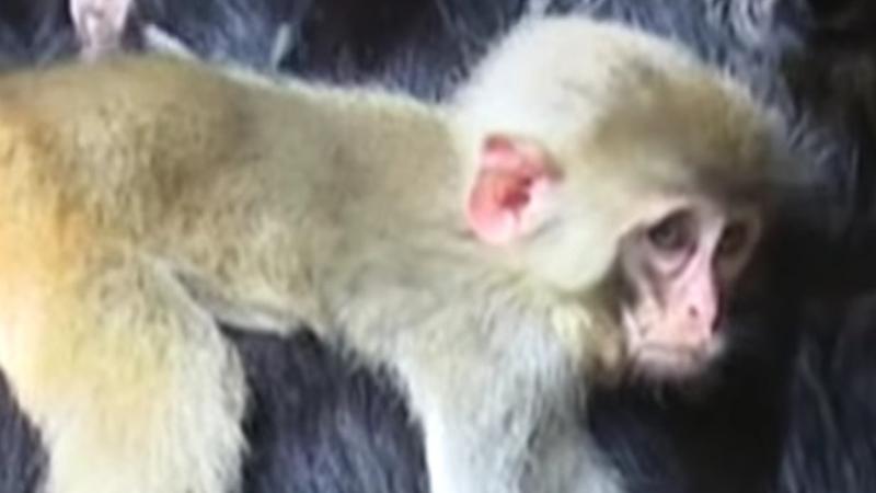 Osierocona małpka znalazła nową rodzinę. Choć wydaje się to niemożliwe, doskonale o nią dba!