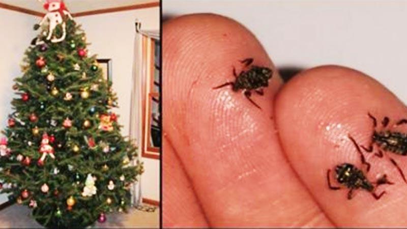 Kupując bożonarodzeniowe drzewko, dokładnie je obejrzyj! Wraz z nim możesz przynieść do domu coś jeszcze...