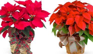 Tę niebezpieczną roślinę wszyscy kupują na święta, jednak nie wiedzą, jakie zagrożenie stwarza dla zdrowia!