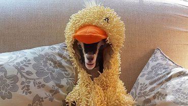Leanne prowadzi schronisko dla kóz i znalazła dziwny sposób na uspokojenie swojej podopiecznej Polly: przebiera ją w strój kaczki!