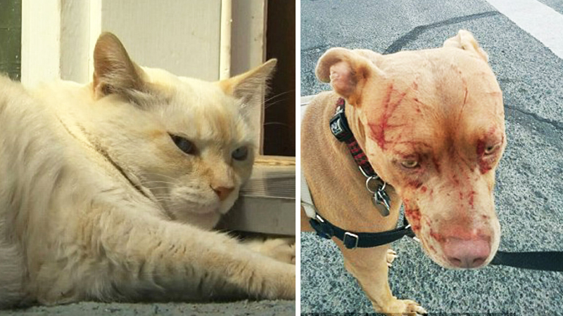 7 wielkich pit bulli weszło na podwórko tego kota. Opiekunka była przerażona, gdy zobaczyła ich pyski po konfrontacji z futrzakiem!