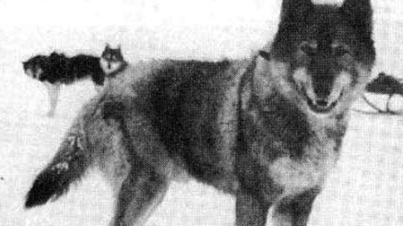 Walczył z 40-stopniowym mrozem i wiatrem wiejącym 100 km/godz. 100 lat temu jeden pies uratował całe miasteczko!