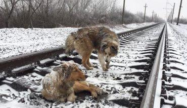 Te psy spędziły dwa dni na torach kolejowych. Gdy usłyszały zbliżający się pociąg, zrobiły coś, czego nikt nie przewidział