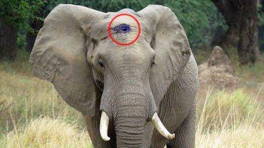 Ten słoń przeżył postrzał w głowę. Będziesz zdumiony, gdy się dowiesz, co zrobił, żeby się uratować!