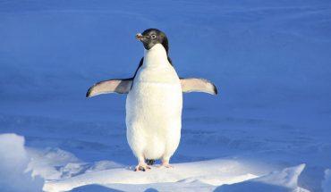 Jak ustrzec się przed upadkiem na oblodzonym lub śliskim chodniku? Wystarczy nauczyć się chodzić jak pingwin!