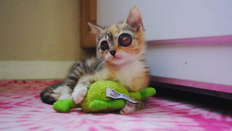 Miesięczny kociak trafia do schroniska z poważną infekcją oczu. Niestety słodki futrzak traci narząd wzroku, ale zyskuje kochający dom
