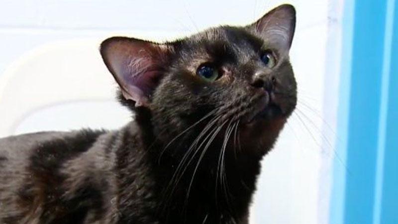 Pracownicy schroniska w Pittsburghu takiego podopiecznego jeszcze nie mieli. Oto kot imieniem Batman, który posiada dodatkową parę uszu!