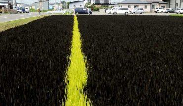 Myśleli, że to zwykłe pole ryżowe. Gdy zobaczyli je po 4 tygodniach, nie mogli wyjść z podziwu!