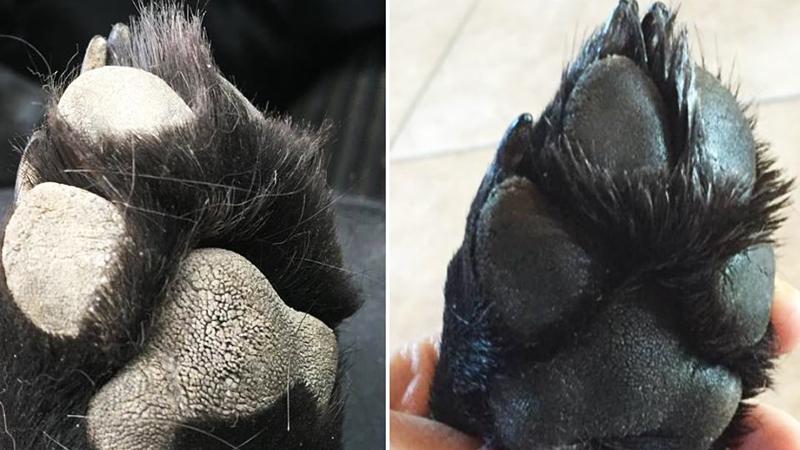 Łapy tego psa zmieniły kolor i zaczęły potwornie boleć! Wszystko po kilkuminutowym spacerze i tym, co znajdowało się na chodniku