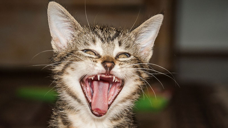 Amerykańcy naukowcy ostrzegają: badania dowodzą, że posiadanie kota może prowadzić do poważnych chorób psychicznych!