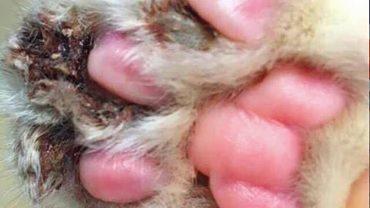 Aby kot nie drapał, w okrutny sposób usunięto mu pazury! Konsekwencje zabiegu wprawiły w osłupienie pracowników schroniska