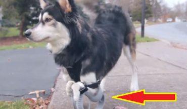 Oto Derby, pies z niedorozwojem przednich łap, którego protezy powstały na drukarce 3D! Ten szalony pomysł okazał się strzałem w dziesiątkę