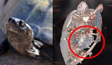 Przez głupi przesąd ludzi ten żółw cierpiał latami, to cud, że przeżył i udało się mu pomóc
