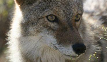Kojot wyciągnął pomocną łapę do ludzi. Matka drapieżnika razem z ludźmi uratowała swoje młode