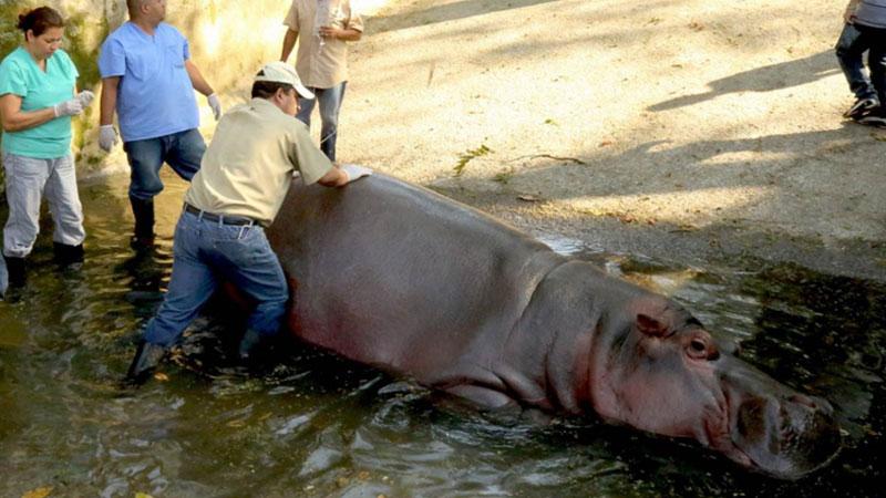 Skala przemocy w Salwadorze sięga zenitu. Gangi czują się totalnie bezkarne, a ich ofiarą padł nawet hipopotam, którego skatowano na śmierć