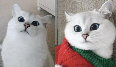 Oto Coby, kot żywcem wyjęty z kreskówki. Patrząc w te niebieskie oczy nie sposób się nie zakochać