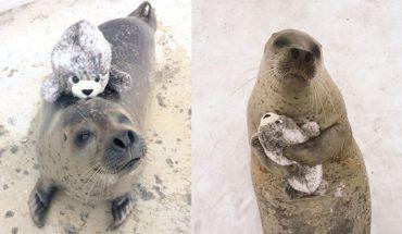 Ta foka ma nową zabawkę. Pluszowa wersja samej siebie tak przypadła jej do gustu, że nie może przestać jej przytulać. Uwaga, zobaczenie tych zdjęć grozi cukrzycą!