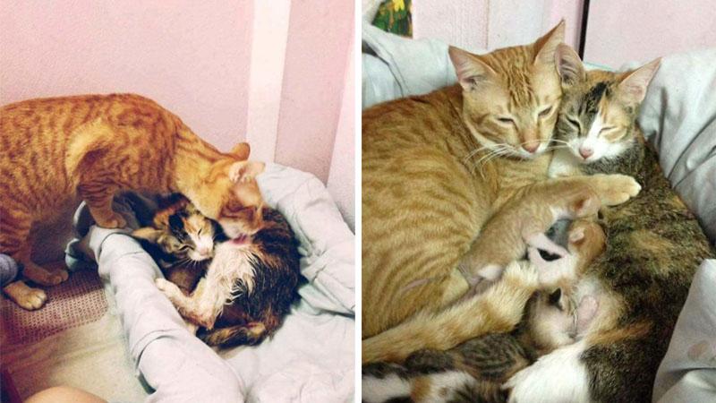 Ten koci tata wie, jak pomóc przy porodzie! Skradł serca każdego, kto to zobaczył. Uważaj na swoje