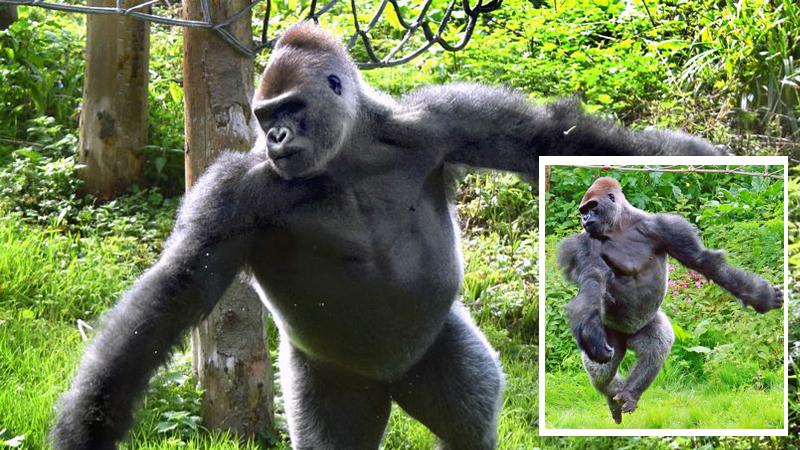 Tłumy gromadzą się w ZOO, by podziwiać... goryla uwielbiającego balet!