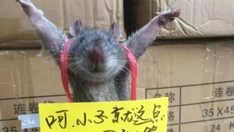 Przyłapano tego małego szczura na pałaszowaniu ryżu. Kara, jaką otrzymał, miała go raz na zawsze oduczyć kradzieży!