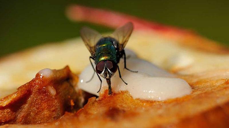 Odkrywamy, co tak naprawdę dzieje się z jedzeniem, gdy usiądzie na nim mucha! Uwaga, ta wiedza odbierze Wam apetyt