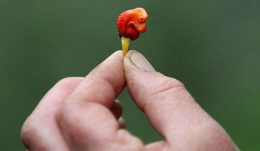 Ta mała papryczka może zabić w kilka chwil, ale i tak znajduje amatorów jej zabójczej ostrości