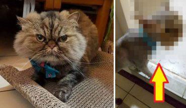 Zostawiła kota perskiego u groomera, a kiedy po godzinie wróciła, nie poznała swojego pupila! Zobaczcie najgorszą kocią fryzurę świata