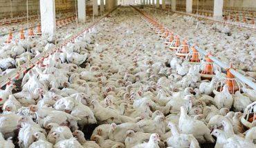 By zaspokoić popyt hoduje się kurczaki, które tylko w 51% składają się z mięsa! Jadł je niemal każdy, bo sprzedaje się ich aż… 60 tysięcy ton rocznie!
