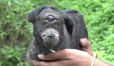 Oczy całego świata znów zwróciły się ku Indiom, gdzie na świat przyszła koza z jednym okiem! To prawdziwy wybryk natury, który trzeba zobaczyć