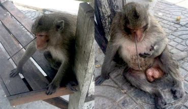 Siedziała na poboczu i nie rozumiała, co właściwie się stało. Tylko szybka pomoc sprawiła, że małpa cudem przeżyła!