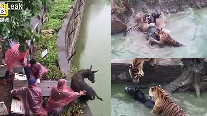 Tygrysy w ZOO były znudzone, więc zafundowano im rozrywkę w postaci żywego osiołka. Biedak nie miał szans!