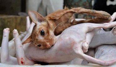Udawał miłośnika kotów, a w rzeczywistości zbierał futrzaki tylko po to, by je mordować i sprzedawać jako mięso z królika! Dziennie życie traciło ponad 100 kotów