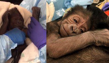 Zespół specjalistów z oddziału położniczego został wezwany do nietypowego porodu. Mamą, która potrzebowała pomocy, była gorylica!
